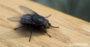 ذباب رزل يهاجم المنازل