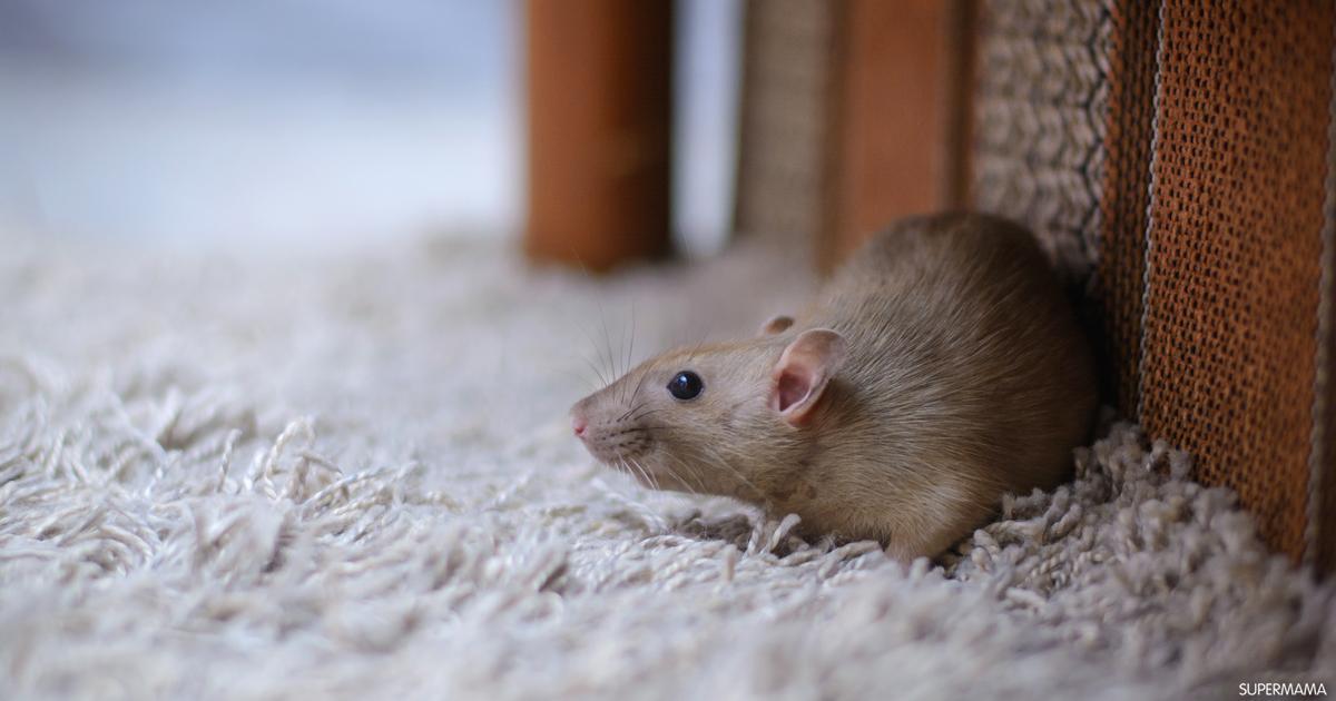 أفضل طريقة للتخلص من الفئران سوبر ماما