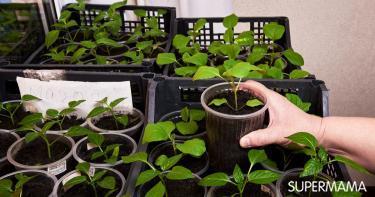 زراعة الباذنجان في المنزل