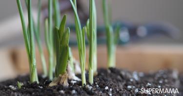 زراعة الثوم في المنزل