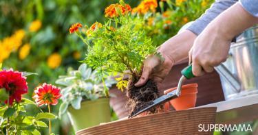 زراعة الورد في المنزل