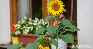زراعة عباد الشمس في المنزل