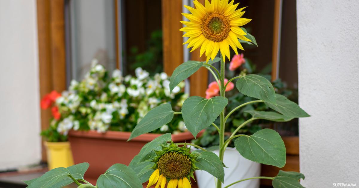 طريقة زراعة عباد الشمس في المنزل سوبر ماما
