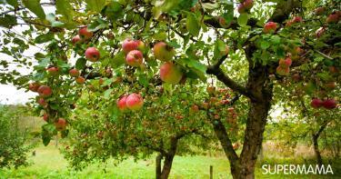 زراعة التفاح من البذور