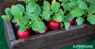 زراعة الفجل في المنزل
