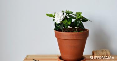 زراعة الجاردينيا في المنزل