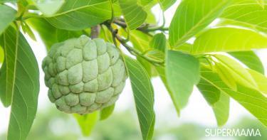كيفية زراعة فاكهة القشطة في المنزل