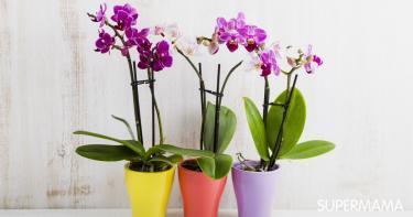 زراعة زهرة الأوركيد في المنزل