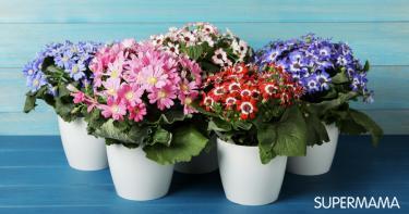 كيفية زراعة نبات السناريا