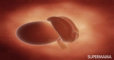 كل ما تودين معرفته عن الجنين في الشهر الأول 5
